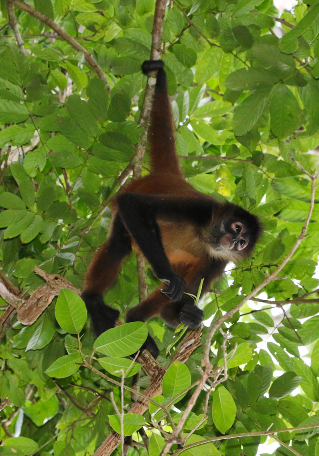 Central American Spider Monkey, Atales geoffroyi, from Drake Bay, Costa Rica