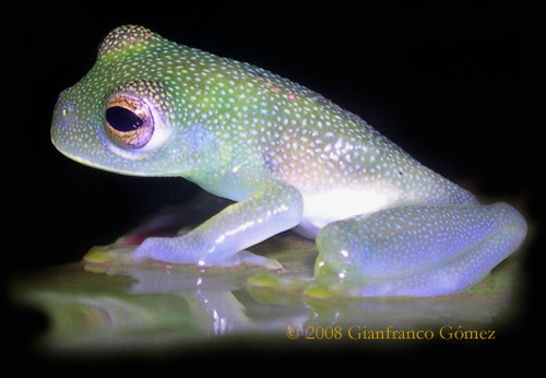 Granular Glass Frog (Cochranella granulosa) - The Night Tour ...