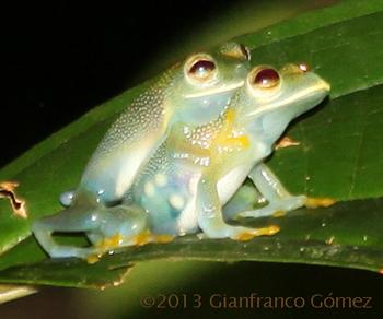 Granular Glass Frog (Cochranella granulosa) - The Night Tour ...