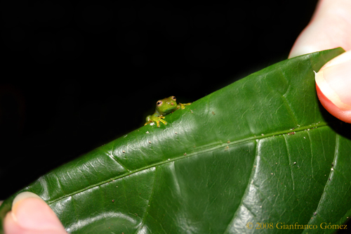 Glass Frogs (Centrolenidae) - The Night Tour - Drake Bay, Costa Rica