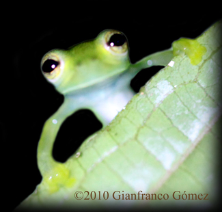 Emerald Glass Frog (Centrolenella prosoblepon) - The Night Tour ...