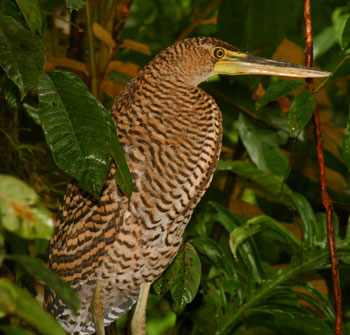 Bare-throated Tiger-Heron in the Sierpe-Terraba Mangrove Reserve