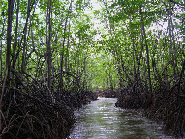 Mangover Tour in the Sierpe-Térraba Mangrove Reserve