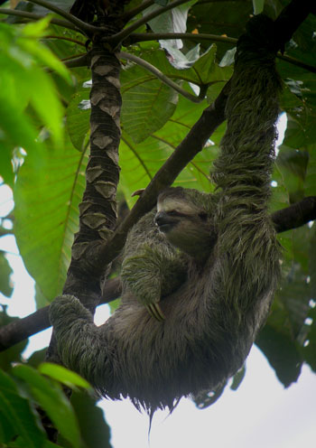 Three-toed Sloth, Bradypus variegatus