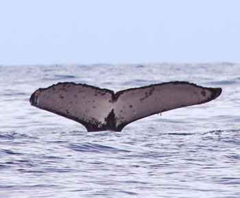 Humpback Whale Watching Tours in Drake Bay, Costa Rica