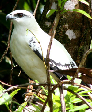 White Hawk in Corcovado National Park